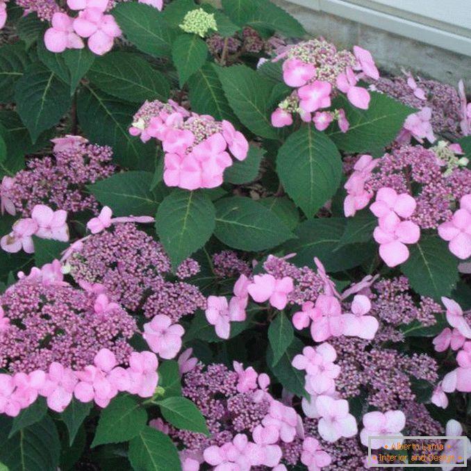 The blossoming hydrangea flowers are large-leaved.