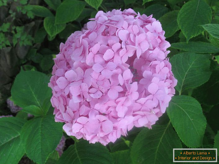Large-leaf hydrangea is soft pink.