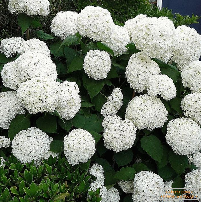 Hortensia bush with large round white snow-white buds at the entrance to the house.
