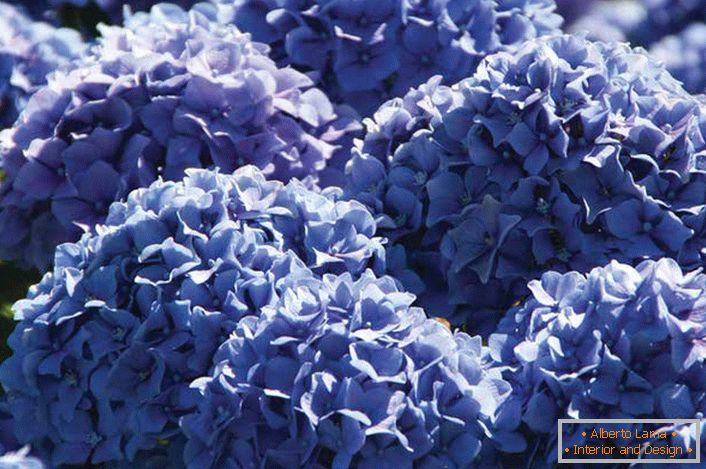 Hortensia with voluminous blue buds.