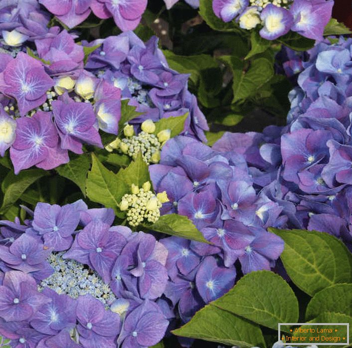 Violet large-leaf hydrangea will