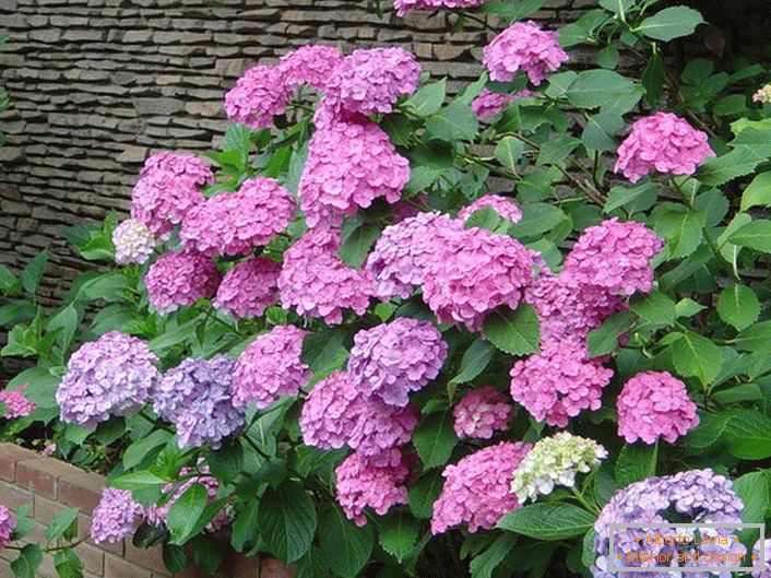 A path of hydrangeas with lilac flowers over the stone fence.