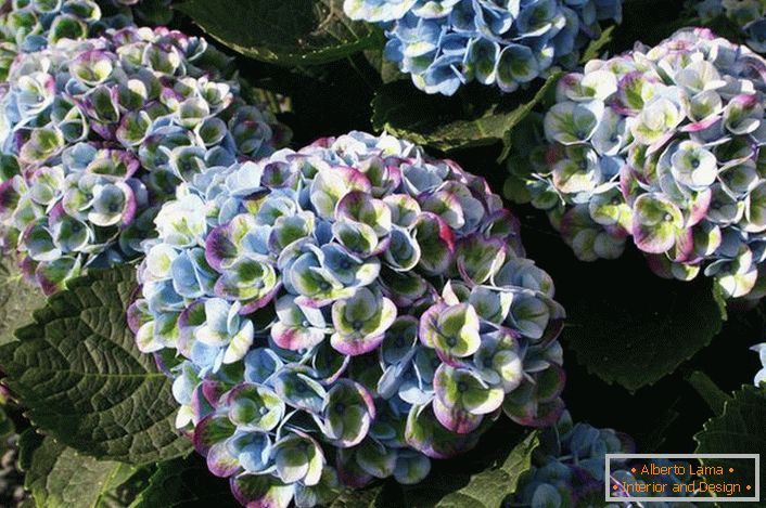 Hortensia with multi-colored buds is an interesting option for decorating a garden plot.