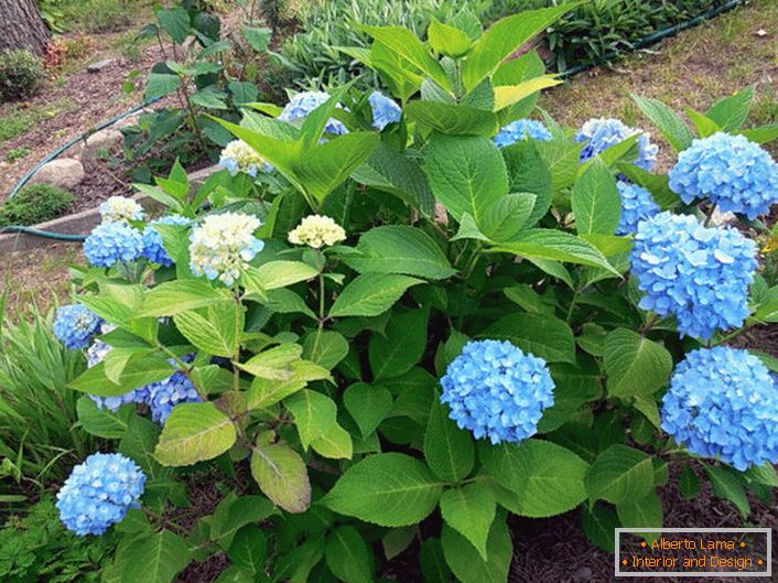 Hydrangea large-leaved Bloom Star with blue flowers.