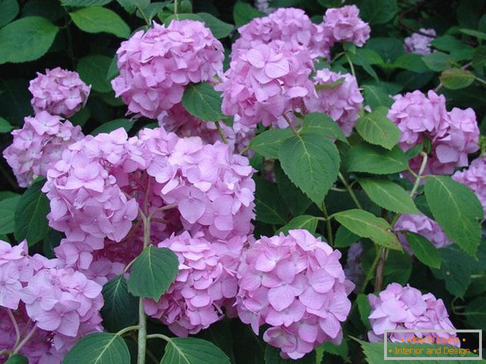 Pale purple flowers of hydrangea are large-leafed decorating any garden.