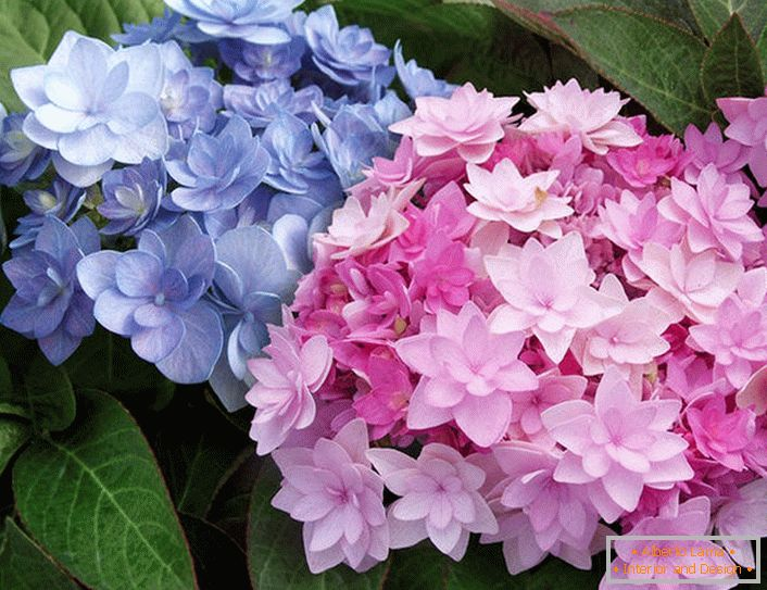 Semi-double flowers of Hydrangea Blushing Bride Endless Summer.
