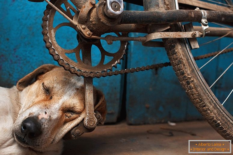 The dog fell asleep on the bicycle pedal