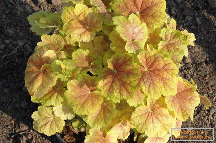 Geiger can grow in pots. Autumn color Geichers in yellow-red tones.