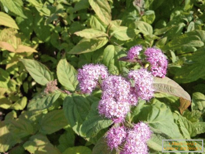 Lilac buds of spiraea