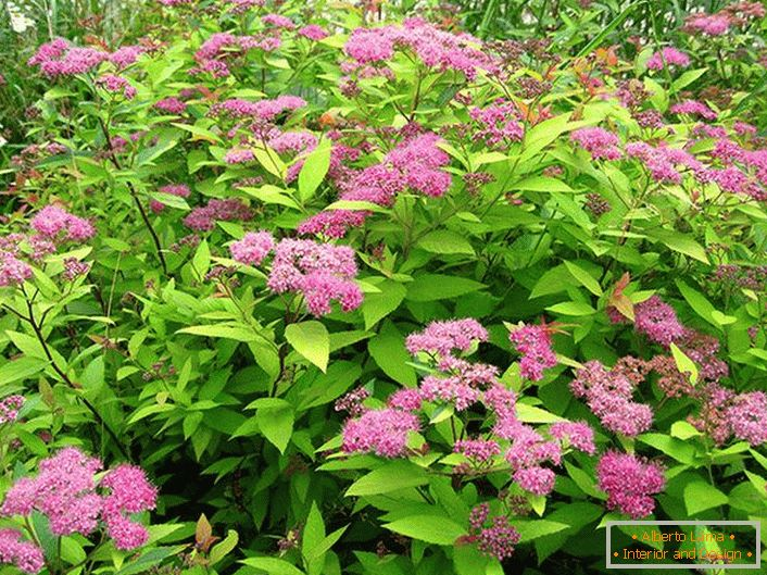 A bush of spiraea Macrophiles in the country