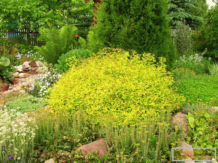 Unobtrusive in the color of the leaves, a tight ball of spirea Golden princesses always harmoniously blends with the designer in the landscape of the site.