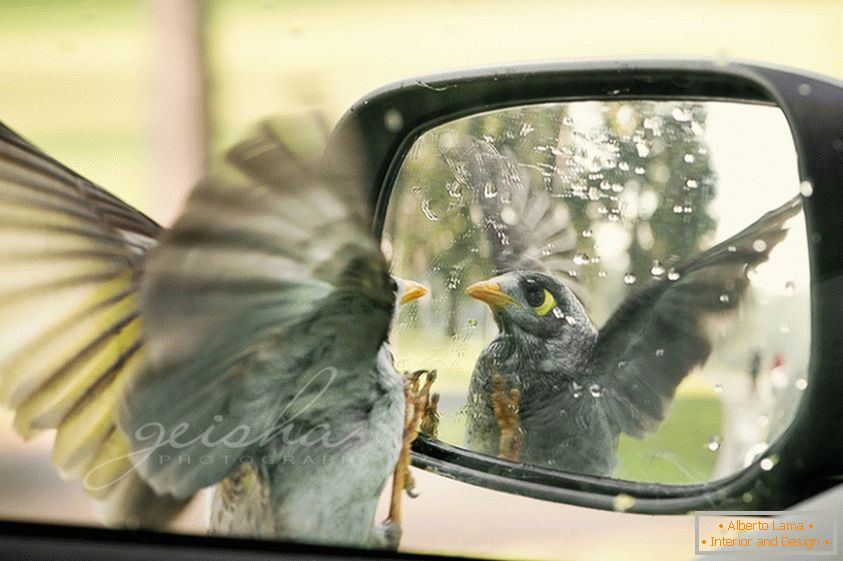 The bird looks in the side mirror of the car